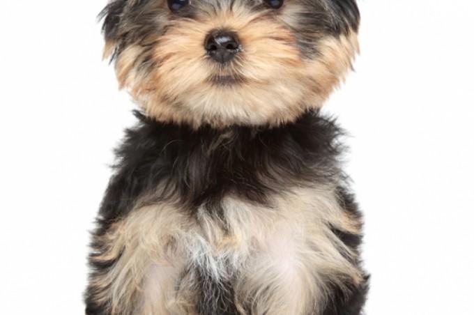 Un petit yorkshire terrier que j'aime déjà très fort