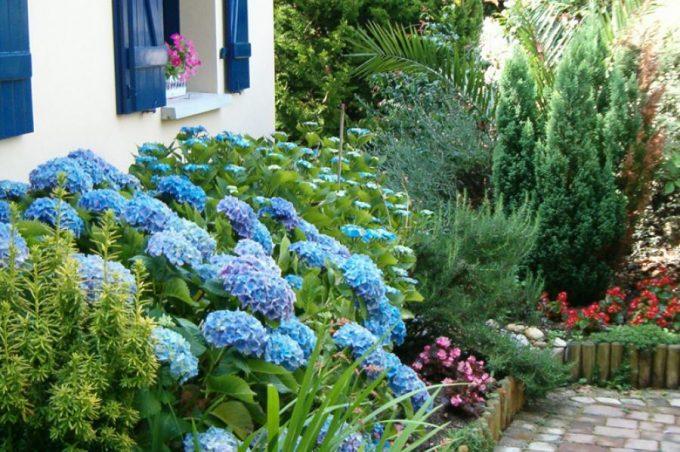 Comment avoir des hortensias bleus ?
