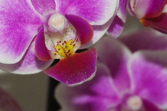 Comment faire refleurir les orchidées ?