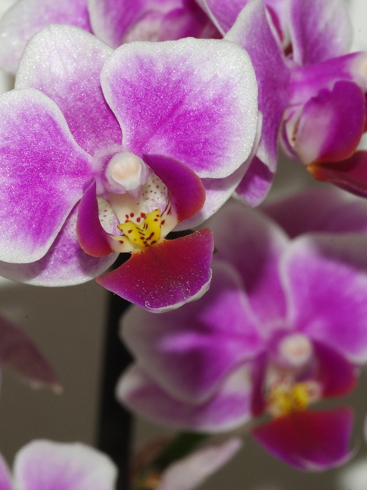 Comment faire refleurir les orchid es - Prendre soin des orchidees ...